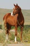 Beautiful chestnut gelding standing in the grass. Portrait of beautiful Russian Don chestnut stallion standing in the grass Stock Photo