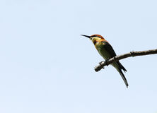 A beautiful Chestnut-headed Bee-eater perched on a branch Royalty Free Stock Photo