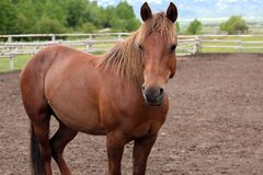 Beautiful chestnut horse Stock Images