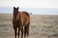 Beautiful chestnut horse. A beautiful chestnut horse standing in the prairie outside Laramie, Wyoming stock photos