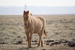 Beautiful chestnut horse. A beautiful chestnut horse standing in the prairie outside Laramie, Wyoming stock images