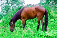 Beautiful chestnut horse with a black and purple mane grazes on a green pasture. Eats fresh grass royalty free stock photos