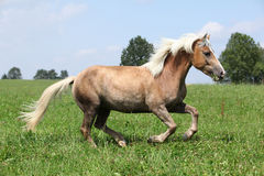 Beautiful chestnut horse with blond mane running in freedom Royalty Free Stock Photos