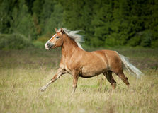 Beautiful chestnut horse with blond mane running in freedom with stock image