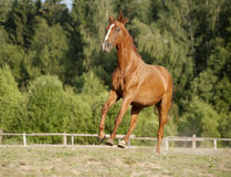Beautiful chestnut horse galloping at the field Royalty Free Stock Photo