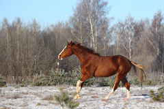 Beautiful chestnut horse galloping free Stock Photography