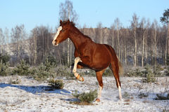 Beautiful chestnut horse galloping free Stock Images
