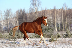 Beautiful chestnut horse galloping free Royalty Free Stock Images