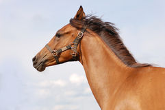 Beautiful chestnut horse portrait Royalty Free Stock Photography