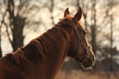 Beautiful chestnut horse portrait in sunset Stock Image