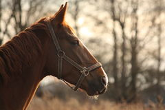 Beautiful chestnut horse portrait in sunset Royalty Free Stock Photography