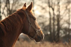Beautiful chestnut horse portrait in sunset Royalty Free Stock Photos