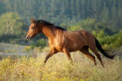 Galloping chestnut horse at sunset free in a meadow in Galicia Spain stock images
