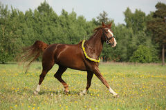 Beautiful chestnut horse trotting at the field Royalty Free Stock Images