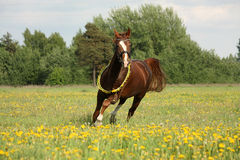 Beautiful chestnut horse trotting at the field Royalty Free Stock Photos