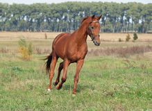 Beautiful chestnut horse trotting. At the green meadow stock photos