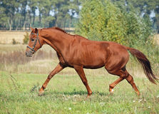 Beautiful chestnut horse trotting. At the green meadow royalty free stock images