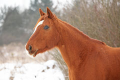 Beautiful chestnut horse in winter Royalty Free Stock Photos