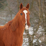 Beautiful chestnut horse in winter Stock Photography