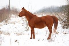 Beautiful chestnut horse in winter Stock Photos