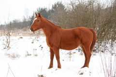 Beautiful chestnut horse in winter Stock Image