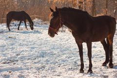 Beautiful chestnut horses in snowy winter forest. Stock Photos