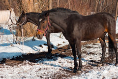 Beautiful chestnut horses and white horse in snowy forest. Russi Stock Photography