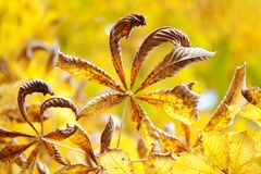 Beautiful chestnut leaves autumn park floral abstract colorful scene. Dried aging tree branch brown leaves on yellow royalty free stock photo