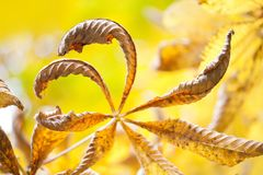 Beautiful chestnut leaves autumn season floral abstract colorful scene. Dried aging tree branch brown leaves on yellow background, Stock Photography