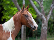 A beautiful chestnut mare. At the edge of a forest royalty free stock image