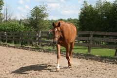 Beautiful Chestnut mare trotting Stock Photos