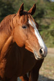 Beautiful chestnut quarter horse in autumn. Portrait of beautiful chestnut quarter horse on pasturage in autumn royalty free stock photos