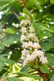 Beautiful chestnut trees bloom in a public garden in the city. Big trees bloom in the park stock images