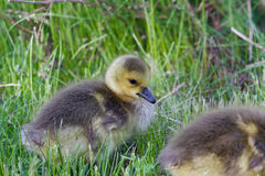 Beautiful chick is eating the grass Royalty Free Stock Photo