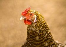 Portrait of chicken Stock Photos