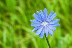 Beautiful chicory flower Stock Image
