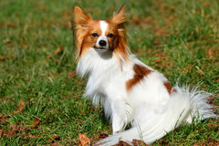 Beautiful Chihuahua. Stock Photos