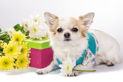 Beautiful Chihuahua dog with gift box and flowers Stock Photo