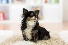 Beautiful chihuahua dog indoors. Beautiful chihuahua dog sitting on carpet indoors Royalty Free Stock Image