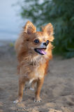 Beautiful chihuahua dog on natural background Stock Photos