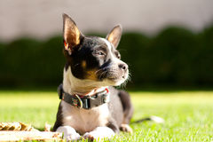 Beautiful Chihuahua dog portrait in the sunshine Royalty Free Stock Photos