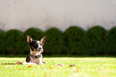 Beautiful Chihuahua dog portrait in the sunshine Royalty Free Stock Images