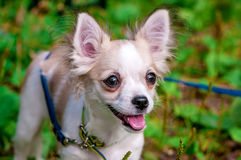 Beautiful Chihuahua dog Stock Photo