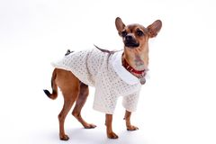 Beautiful chihuahua isolated on white background. Stock Photos