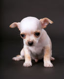 Beautiful Chihuahua puppy boy lying on the floor Stock Image