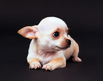 Beautiful Chihuahua puppy boy playing in Studio Stock Image