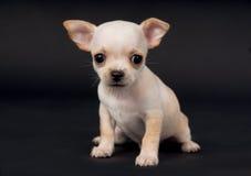 Beautiful Chihuahua puppy boy playing in Studio Royalty Free Stock Photo