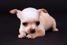Beautiful Chihuahua puppy boy playing in Studio Stock Photo
