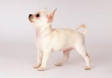 Beautiful Chihuahua puppy Stock Image
