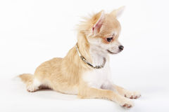 Beautiful chihuahua puppy with necklace Royalty Free Stock Image